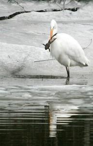 Egretă mare la Murighiol